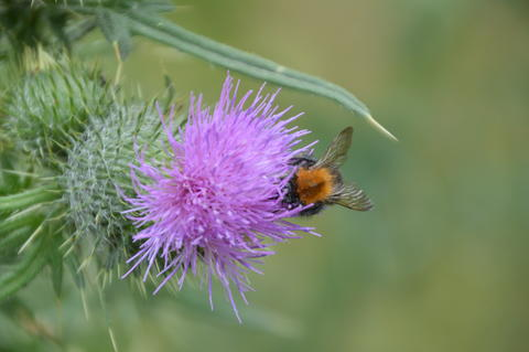 Carduus With Bumblebee Photo