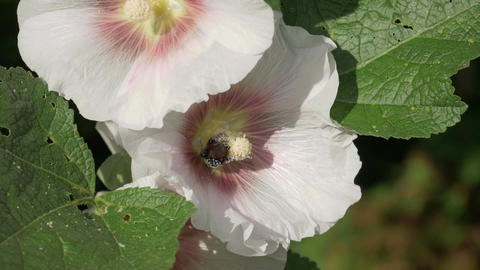 Bee collects pollen on white pink flower and flies to another one Footage