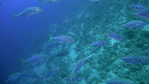 Tropical Fish Swims from the Blue Depths Footage