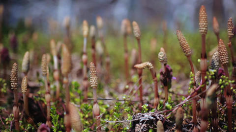 Japanese edible wild plant Equisetum arvense Footage