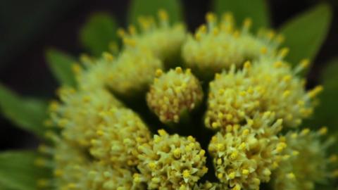Japanese edible wild plant Petasites japonicus Footage