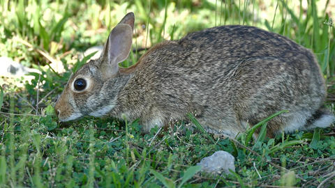 Hare on Grass - Close Side View Live Action