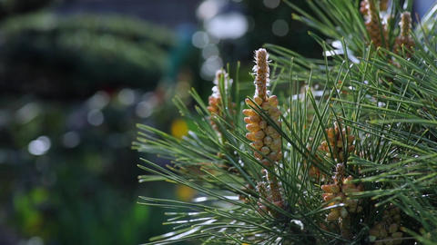 Pinus tree scattering abundant pollen, Japan Footage