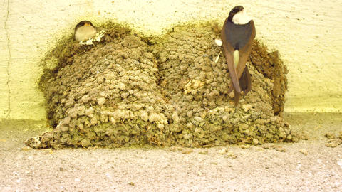 Swallow bird is feeding baby birds in their nest built in corner of house Live Action