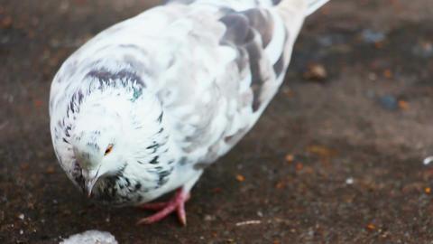 Pigeon pecks grain Footage