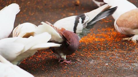 Pigeons peck grains Footage