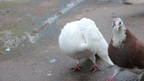 White pigeons in front of camera Footage