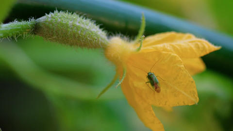 Bug on a flowering cucumber Footage