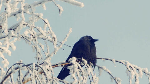 Jackdaw sits on a snow-covered branch Footage