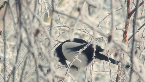 Magpie sits on a snowy tree Footage