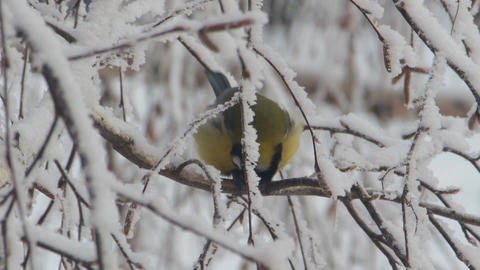 Titmouse on a snow-covered branches Footage