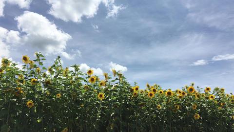Sunflower-20170804-0002 ビデオ