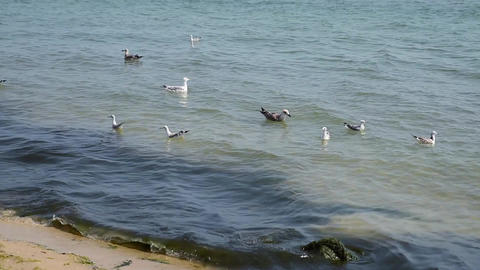 Sea gulls are floating in the sea Footage
