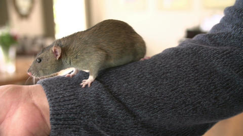 Pet Rat Climbing Over Owner Indoors Stock Video Footage