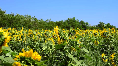 Field with yellow sunflowers Footage