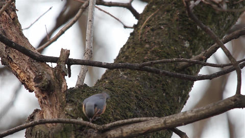 Nuthatch sits on a twig and looks aroNuthatch sits on a twig and looks around -  Live Action