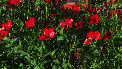 Red Flowers Decorative Linen Footage
