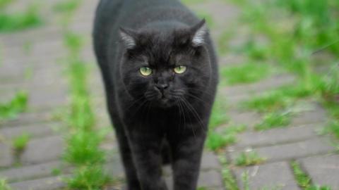 Black Scottish fold cat Footage