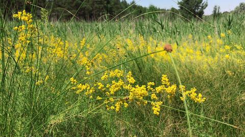 Yellow blooming wildflowers , Galium verum 画像