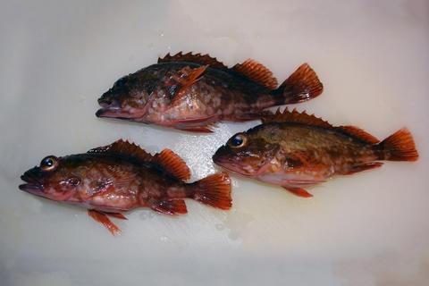 Japnaese False kelpfish フォト