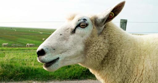 Cinematograph of a Sheep on a Dike Filmmaterial