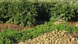 Spoiled rotten potato. Crop failure, bad harvest concept. Agricultural backgroun Footage