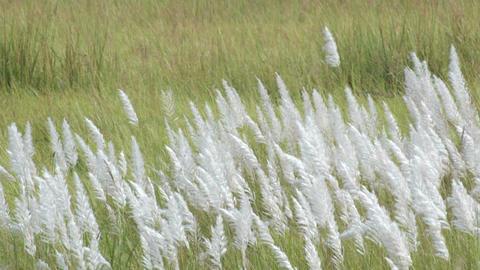 Kans grass , Saccharum spontaneum, Kolkata, West Bengal, India ビデオ