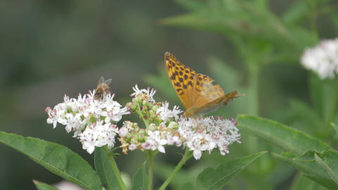 Kaisermantel Butterly - Argynnis Paphia - Closeup, Slowmo Footage