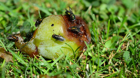 Flies on rotten plum Image