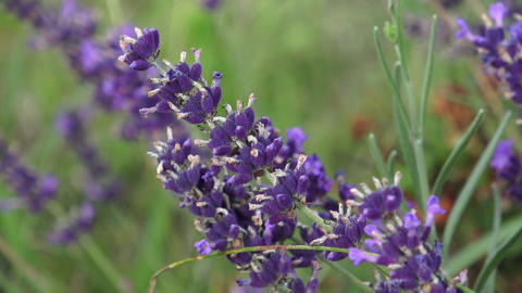 Purple lavender flowers in the field Stock Video Footage