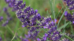 Purple lavender flowers in the field. Beautiful violet wild lavender backdrop me Footage
