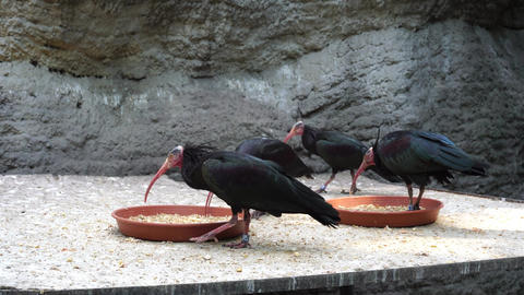 Bald ibis 影片素材