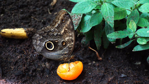 Butterfly eating orange 画像