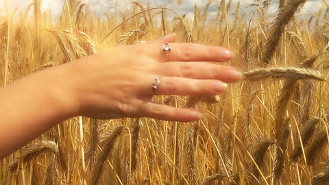 Close-up of of Woman's hand running through golden wheat field. Girl's hand touc Image