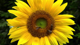 Sunflower and bees in the garden - macro Filmmaterial