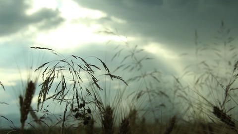 Summer grasses, which are designed on the evening sky, overcast 24 Footage