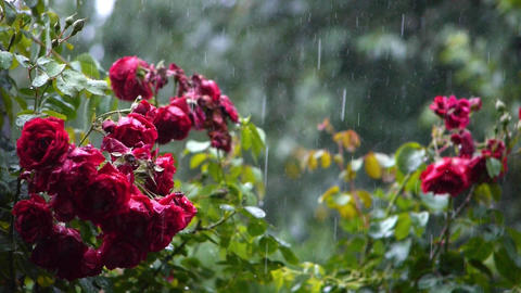 The sound of rain. Heavy rain summer garden. Pink roses are in bloom, they are w Footage