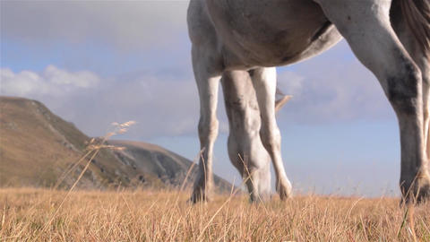 White horse with black spots at grazing on alpine grassland with dry grass 6b Footage