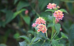 Lantana camara Flowers Footage