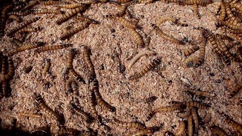 Flour maggots Image