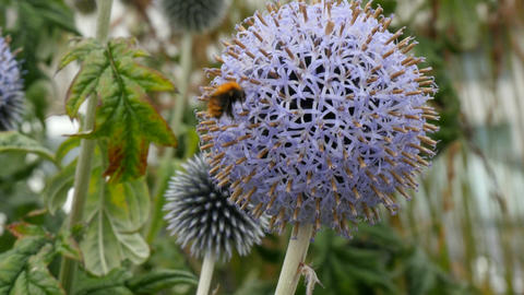 bumblebee collecting nectar from echinops (globe thistal) Footage