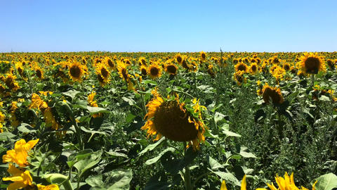 Field with blooming sunflowers Footage
