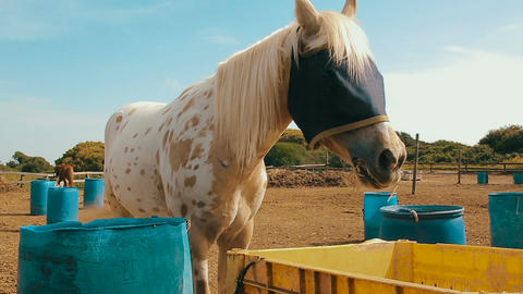Cinemagraph of white horse with a burlap sack that covering his eyes at the ranc Footage