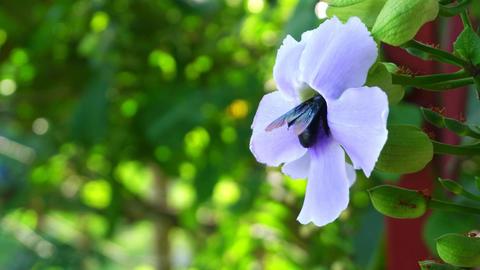 Big black carpenter bee gathering sweet nectar from blue Bengal Trumpet vine flo Footage
