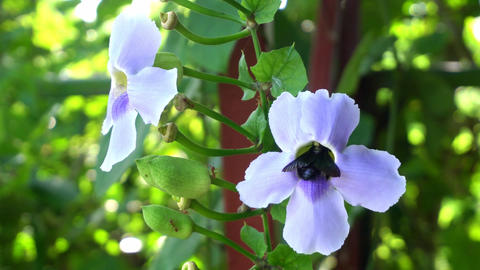 Big black carpenter bee gathering sweet nectar from blue Bengal Trumpet vine flo Archivo