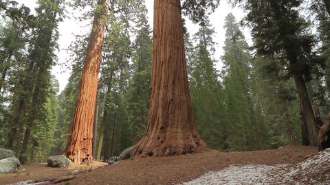 Tilt up giant Sequoia trees in Yosemite Park Footage