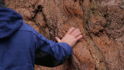 Man touches the bark of the sequoia close up Footage