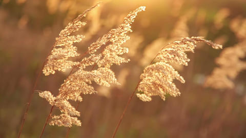 Fluffy Grass at Sunset Trembles in the Wind Image