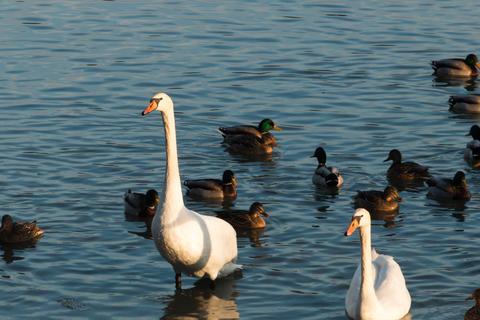 Swans and ducks フォト