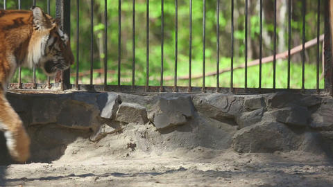 Amur tiger at the zoo Footage